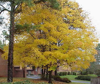 A brilliant yellow tree